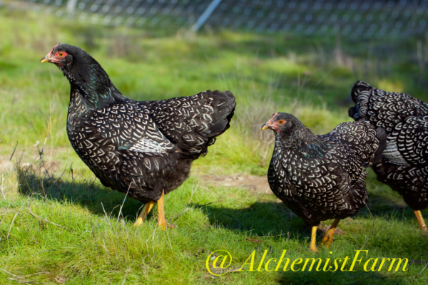 double silver laced barnevelders enjoying the pasture 2018